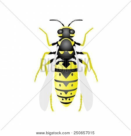 Top View Of Wasp - Hornet On White Background