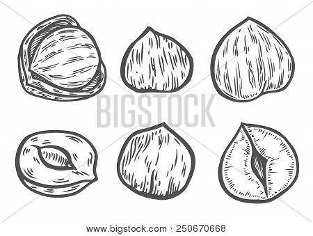 Hazelnut Sketches  Vector & Photo (Free Trial) | Bigstock