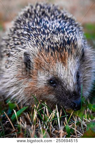 Hedgehog In The Grass Close-up. Stock Photo.