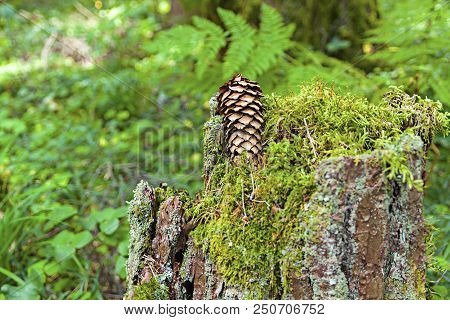 A Fir Cone Lies On A Very Old Stump. Stump All Over The Moss.