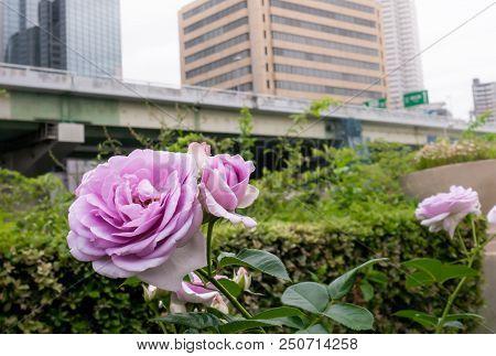 Pink Roses Garden Beside Osaka City Highway