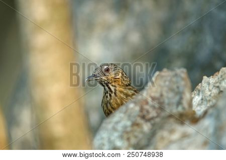 Limestone Wren-babbler, Rufous Limestone-babbler (turdinus Calcicola) In Nature Thailand