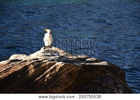 The Little Pied Cormorant. Little Shag or Kawaupaka (Microcarbo melanoleucos) is a common Australasian waterbird found around the coasts, islands, estuaries and inland waters of Australia. poster