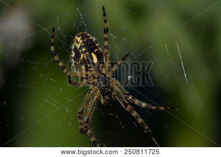 Arhipop Spider. Spiders - Arhiopa Are Quite Common. Because Of Its Unique Yellow-black Striped Color