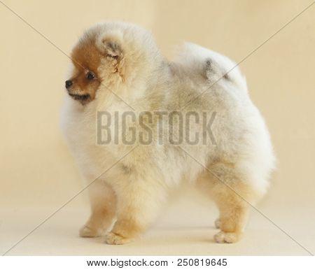 Pomeranian Dog Portrait In Studio With Beige  From Sideways