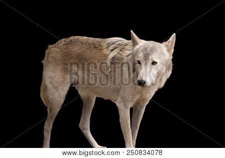 Grey Wolf Isolated On A Black Background