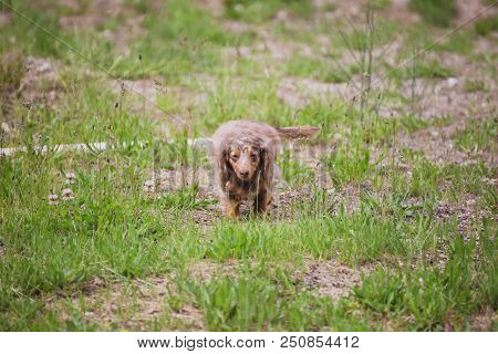 Longhaired Miniature Dachshund Walking Through Patches Of Green Grass On A Summer Day. Miniature Wei