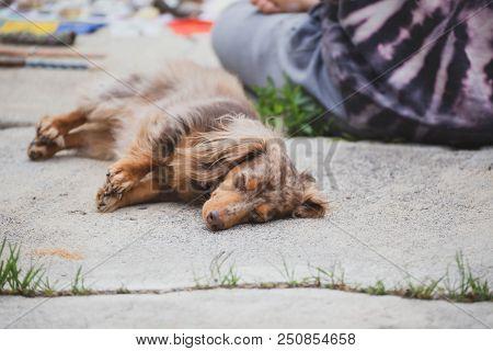 Longhaired Dachshund, Also Known As Dapple Dachshund Or