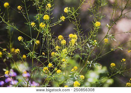 Yellow Flowers Grow On Green Stems In A Natural Forest Area.