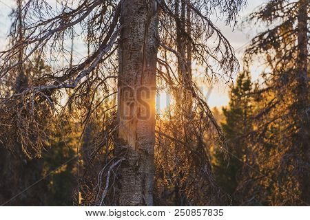 Low Sun Shines Between Branches Of Living And Dead Evergreen Trees In A Remote Forest Area.