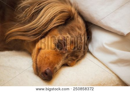 Close Up Of Longhaired Dapple Dachshund Laying And Sleeping On A Soft Bed. Dog Has Brown, Spotted Fu
