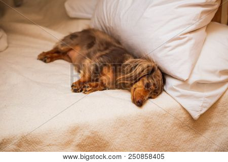 Longhaired Dapple Dachshund Laying And Sleeping On A Soft Bed. Dog Has Brown, Spotted Fur.
