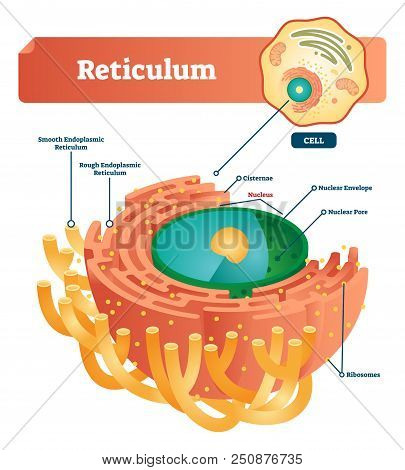 Reticulum Labeled Vector Illustration Scheme. Anatomical Diagram With Smooth And Rough Endoplasmic R