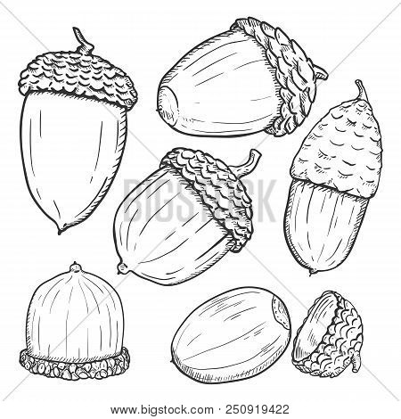 Vector Set Of Sketch Forest Acorns