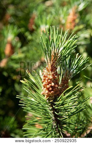 Pine Conifer Buds In A Green Coniferous Forest. Stock Photo.