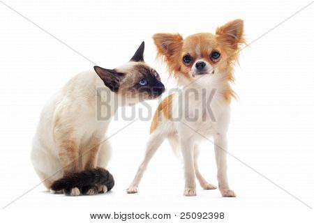 Puppy Chihuahua And Siamese Kitten