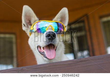 Portrait Of White Cross-breed Dog In Chameleon Sunglasses Peeping Out From Fence Near Its House