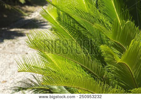 Cycas Revoluta (sotetsu, Sago Palm, King Sago, Sago Cycad, Japanese Sago Palm), Is A Species Of Gymn