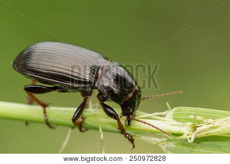 Macro Photograph Of A Beetle Sitting On A Grass Stalk. The Beetle Is Eating The Grass. On A Green Ba