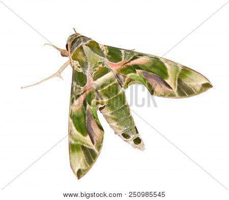 The Green And Pink Camouflage-colored Oleander Hawk-moth Or Army Green Moth, Daphnis Nerii, Is Isola