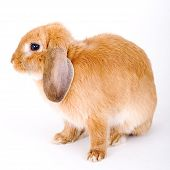 brown-white bunny looking left isolated on white poster