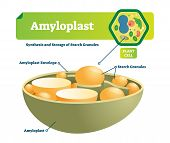 Amyloplast vector illustration. Labeled medical closeup scheme with synhesis and storage of starch granules. Colorful diagram with envelope and plant cell. Microscopic cell structure with organelle. poster