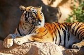 A digital image of a tiger in a zoo in Tenerife. poster