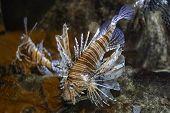Red lionfish aquarium fish, a venomous coral reef fish poster