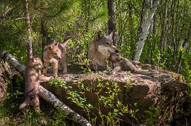 Grey Wolf (canis Lupus) Family On Rock - Captive Animals