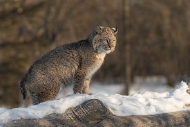 Bobcat (lynx Rufus) Stands Tail Down On Log - Captive Animal
