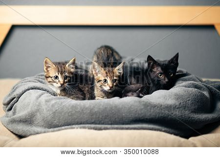 Brood Of Small Kittens On Bed, Cute And Fluffy Pets.