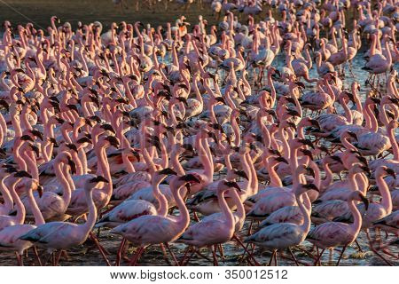Gorgeous birds feed in the shallow water of the Swakopmund. Namibia. Interesting and useful birdwatching. Huge colony of pink flamingos. Ecological, active, zoological and photo tourism concept
