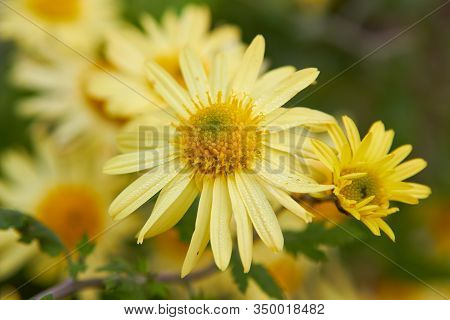 Chrysanthemum Yellow, Autumn Flowers With Chrysanthemums Bloomed, Yellow Chrysanthemum Flowers As Ba
