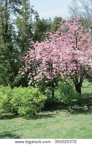 Blooming Pink Cherry Or Sakura Tree In Summer Public Green Park, Vertical Outdoors Stock Photo Image