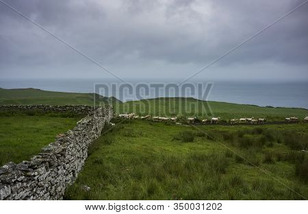 Sheep Graze In A Field Near A Stone Wall And A Cliff Overlooking Dornoch Firth Near The Town Of Glen