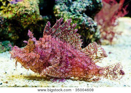 Weedy Scorpionfish (rhinopias Frondosa)
