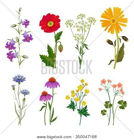 Wild Flowers. Plants Botanical Collection Vector Floral Set Meadow Anise. Illustration Floral Meadow