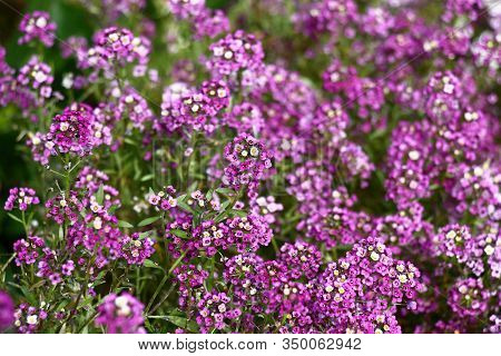 Numerous Inflorescences With Small Flowers In Violet Tones. In A Flower Bed The Lobularia Plentifull