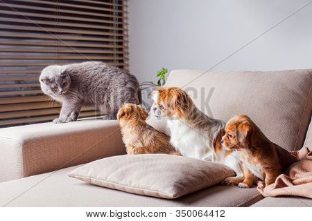 Communicating Scottish Straight Cat With Pekingese Dogs