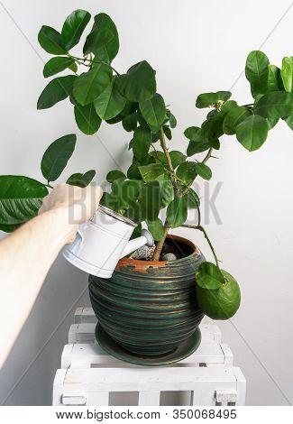 Home Gardening: Lemon Tree In A Large Green Pot. A Male Hand Is Watering A Plant From A White Small