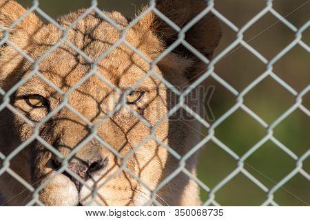 Caged Lion Staring Through Fence. Captive Animal Rights Image. Close-up Of Big Cat In Captivity. Gam