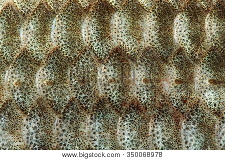 Fish Scales Skin Textured Pattern Background. Macro View Crucian Carp Carassius Scaly With Lateral L