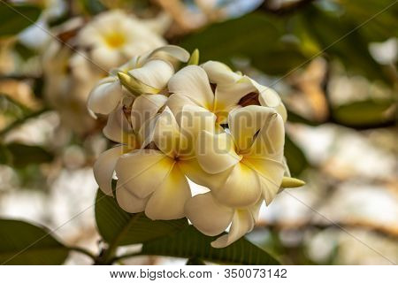 Branch Of White Frangipani Flowers. Blossom Plumeria On Natural Blurred Background. Flower Backgroun