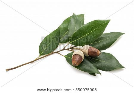 Holm Oak Branch With  Acorns Isolated On White Background