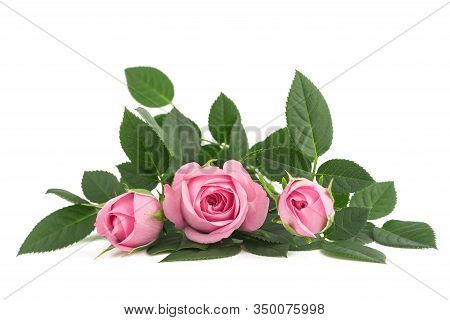 Pink Rose Flowers Isolated On White Background