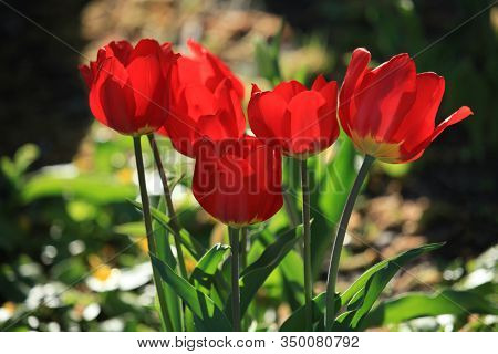 Blossoming Red Tulips (tulipa L) In Backlight In City Garden. Spring And Warm Landscape With Bloomin