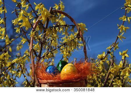 Easter Eggs In The Forsythia In The Eastertime
