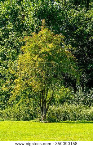 Single Broadleaf Tree On A Lawn In Front Of A Forest During Summer In Sunlight