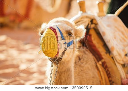A Cute And Sad Camel In A Knitted Dressy Muzzle And Harness Waiting For Tourists And Looks At The Ca