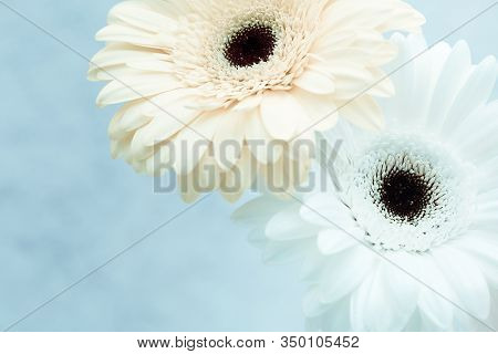 Gentle White Gerbera Flower Over Blue Background With Copy Space For Your Text. Greeting Card For Sp